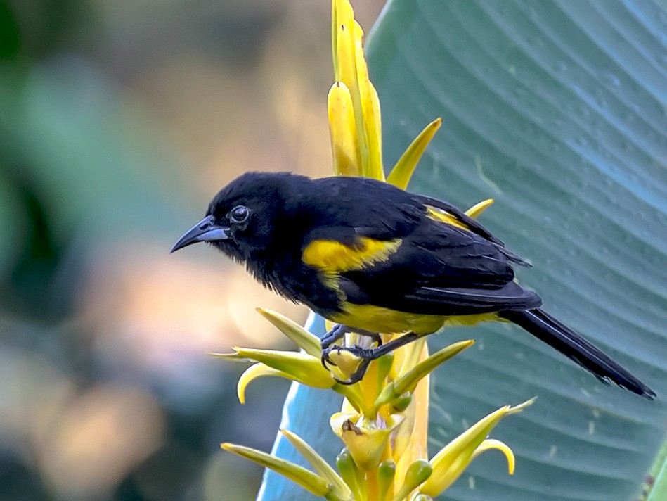 Black-cowled Oriole - Frank Salmon