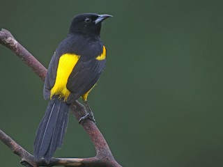 - Black-cowled Oriole