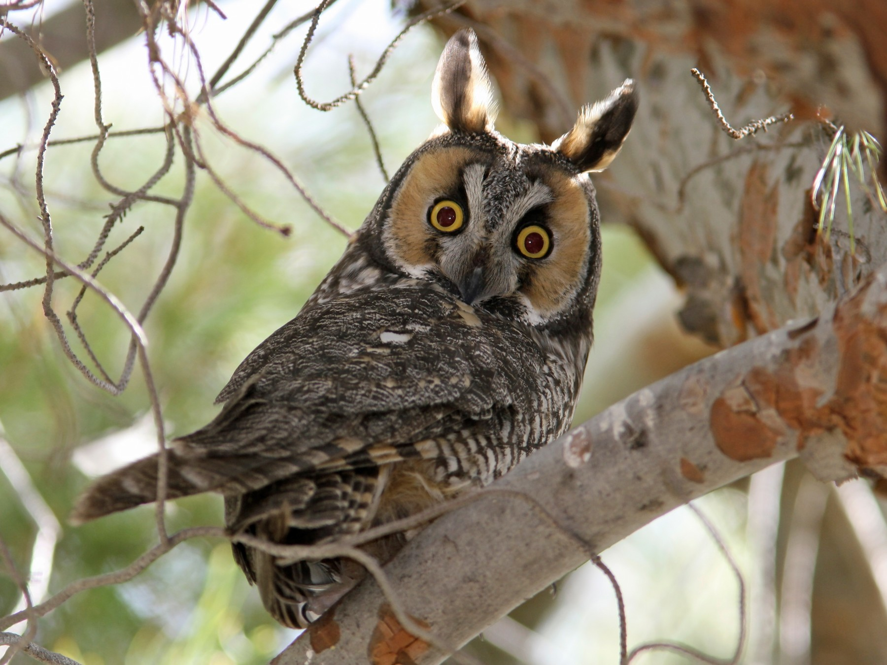 Long-eared Owl - eBird