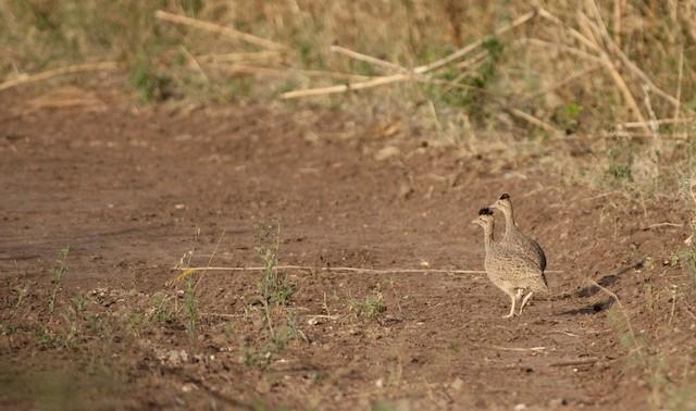 Brushland Tinamou