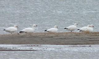 Ross's Goose, ML39538161