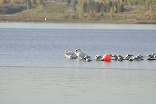Mute Swan, ML39541111