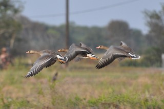 Greater White-fronted Goose, ML39564171