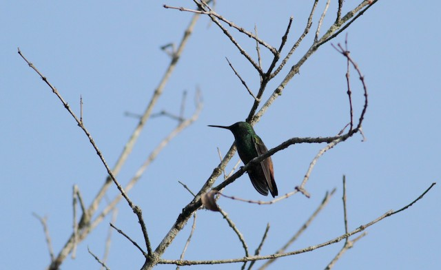 Green-bellied Hummingbird (Copper-tailed)