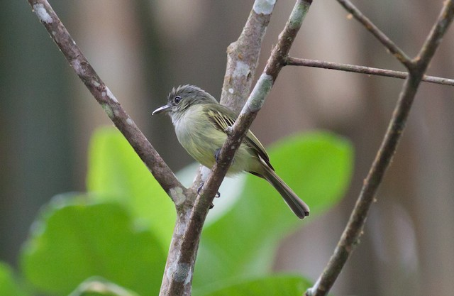 Yellow-margined Flycatcher (Yellow-winged)