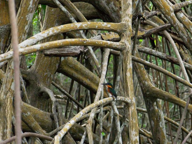 American Pygmy Kingfisher - Ragupathy Kannan