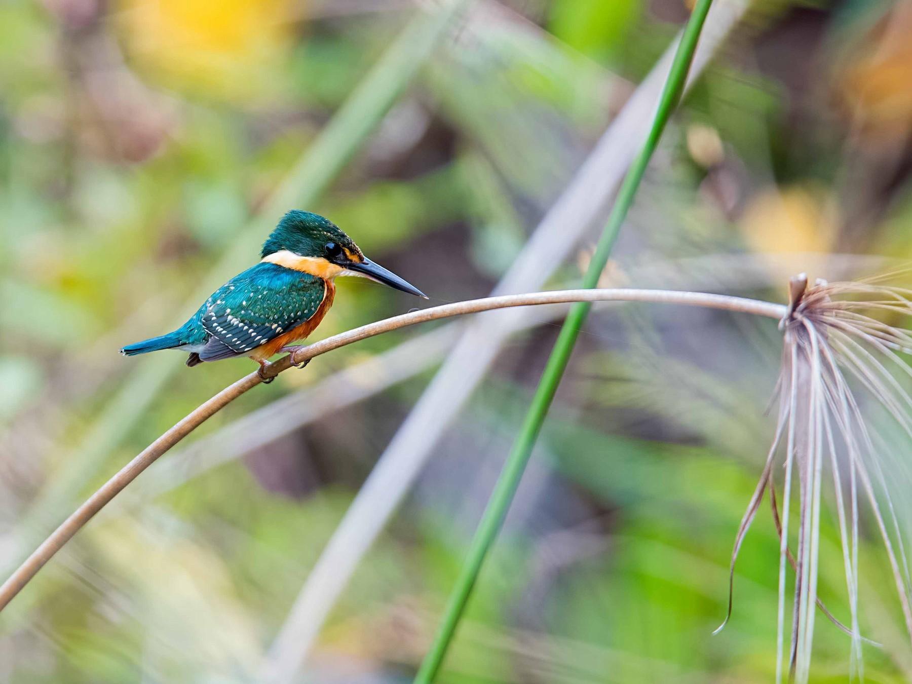 American Pygmy Kingfisher - Shailesh Pinto