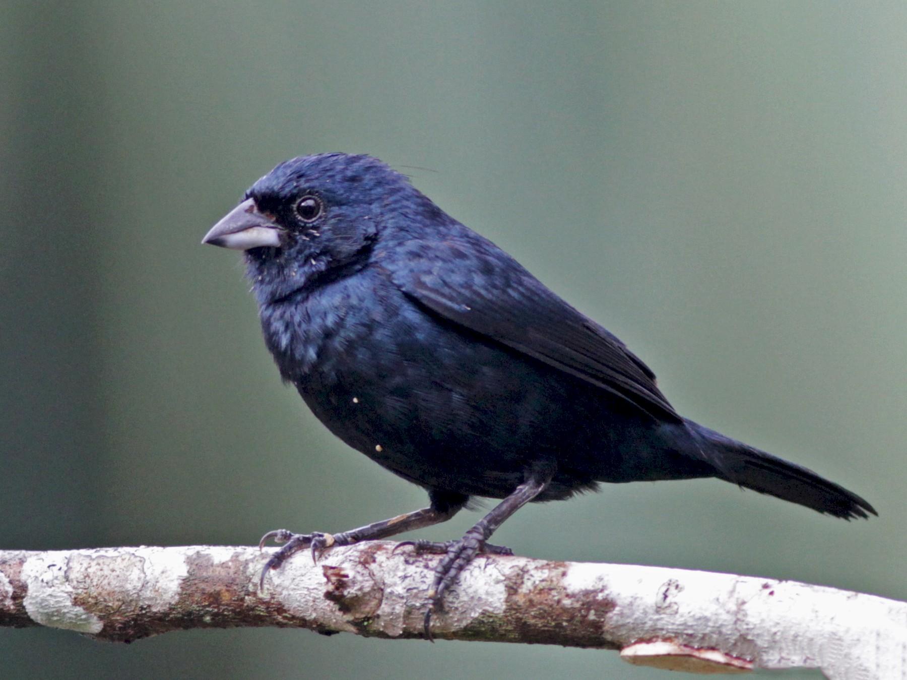 Blue-black Grassquit - Ian Davies