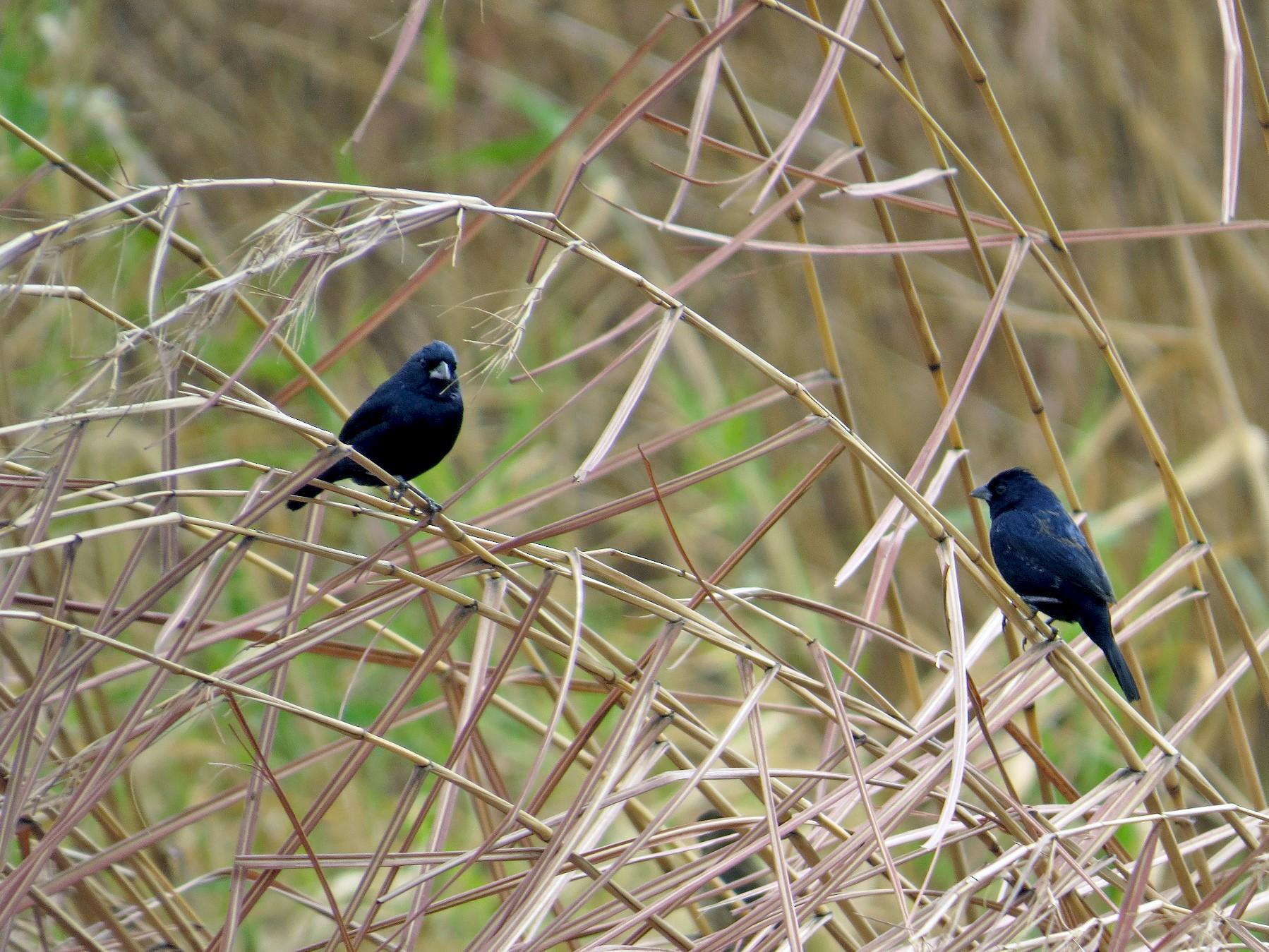 Blue-black Grassquit - Róger Rodríguez Bravo