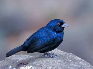 - Blue-black Grassquit