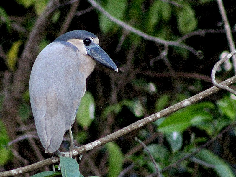 Boat-billed Heron - Antonio Robles