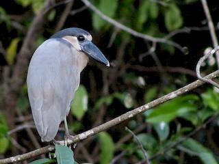 - Boat-billed Heron