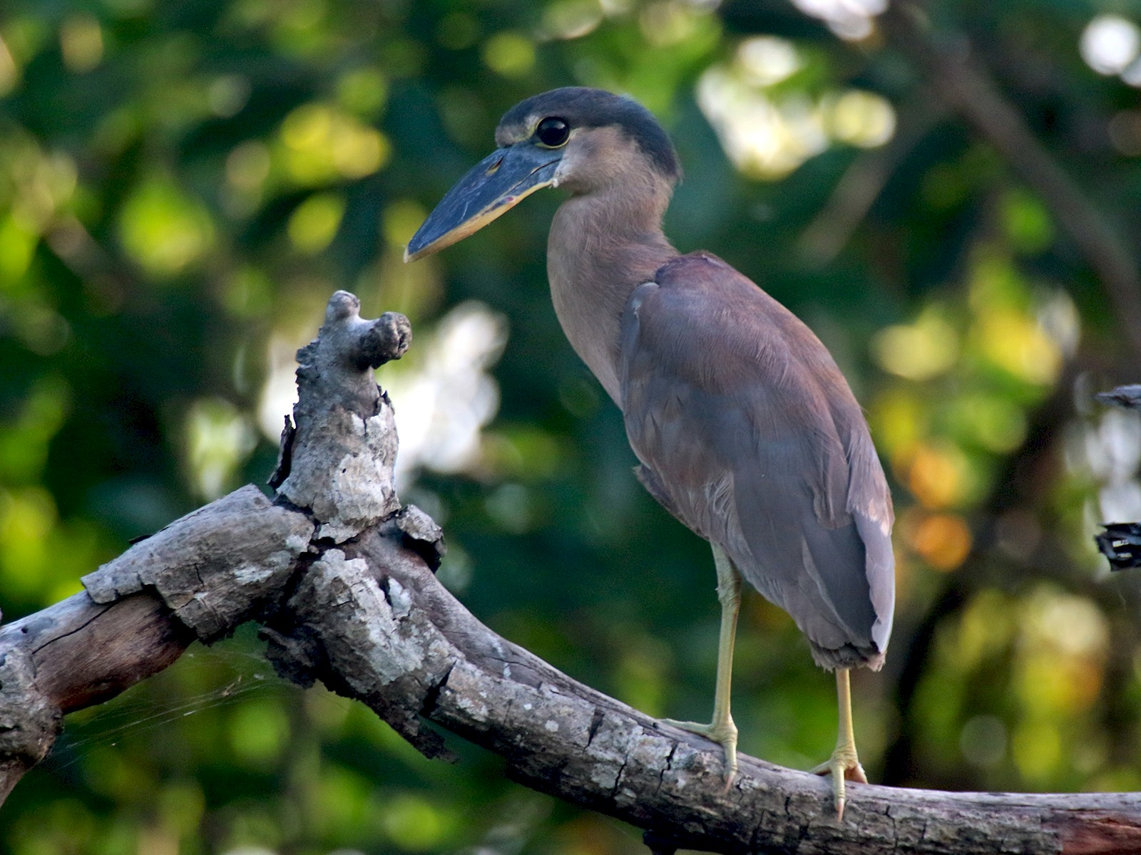 Boat-billed Heron - Angela Conry