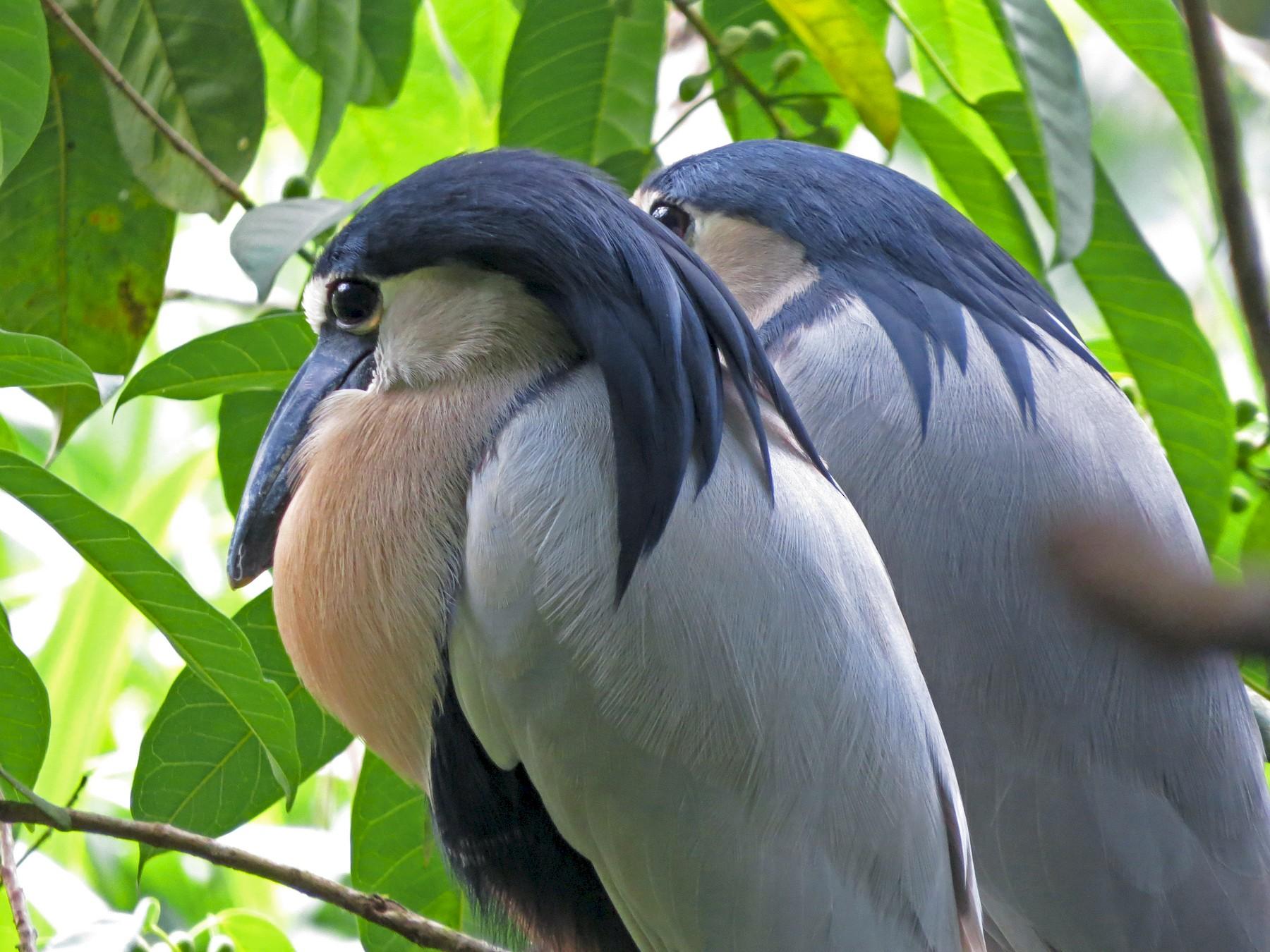 Boat-billed Heron - deidre asbjorn