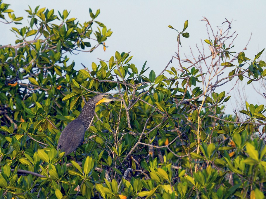 Bare-throated Tiger-Heron - Brian Hughes