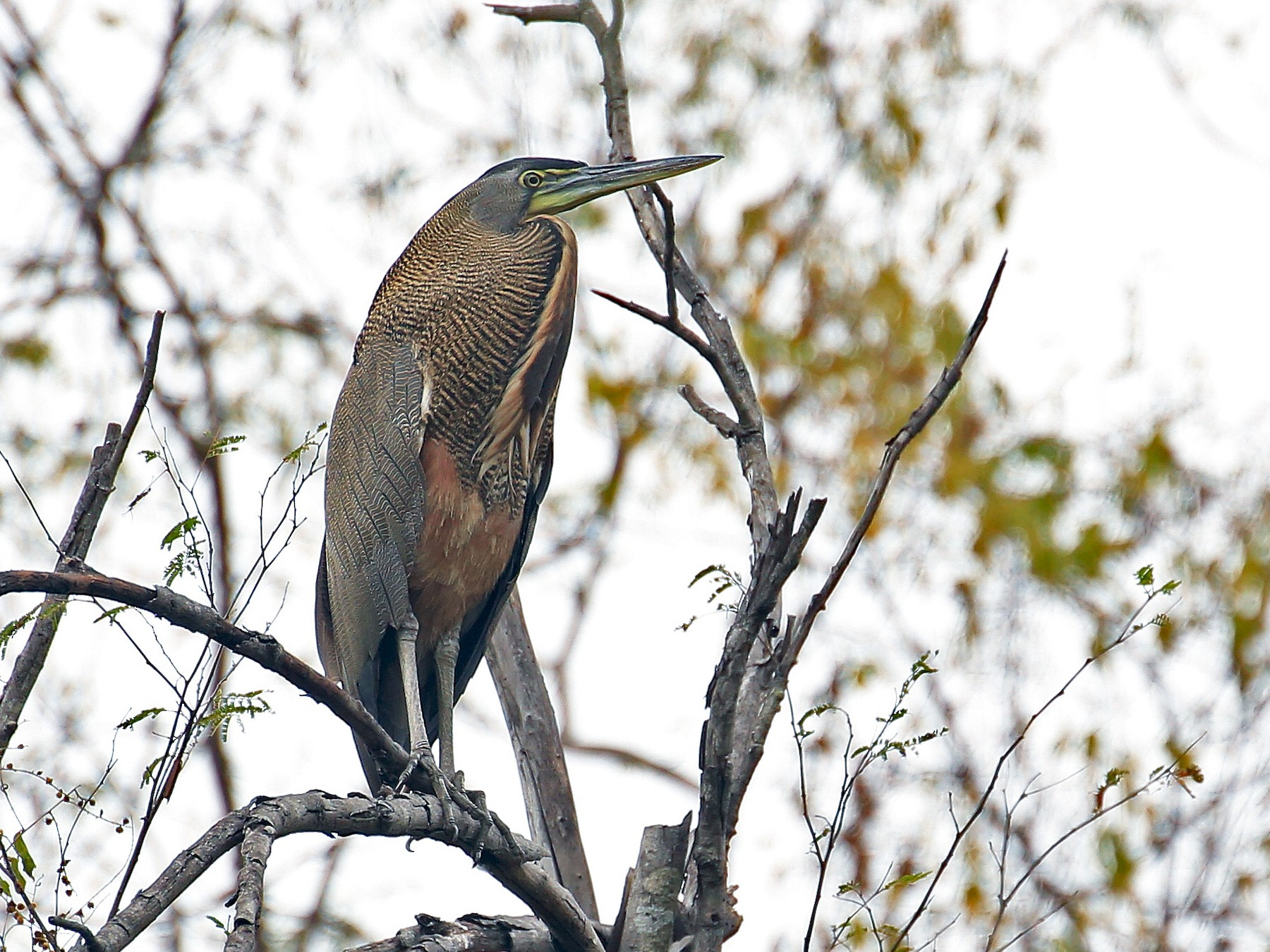 Bare-throated Tiger-Heron - Tim Lenz