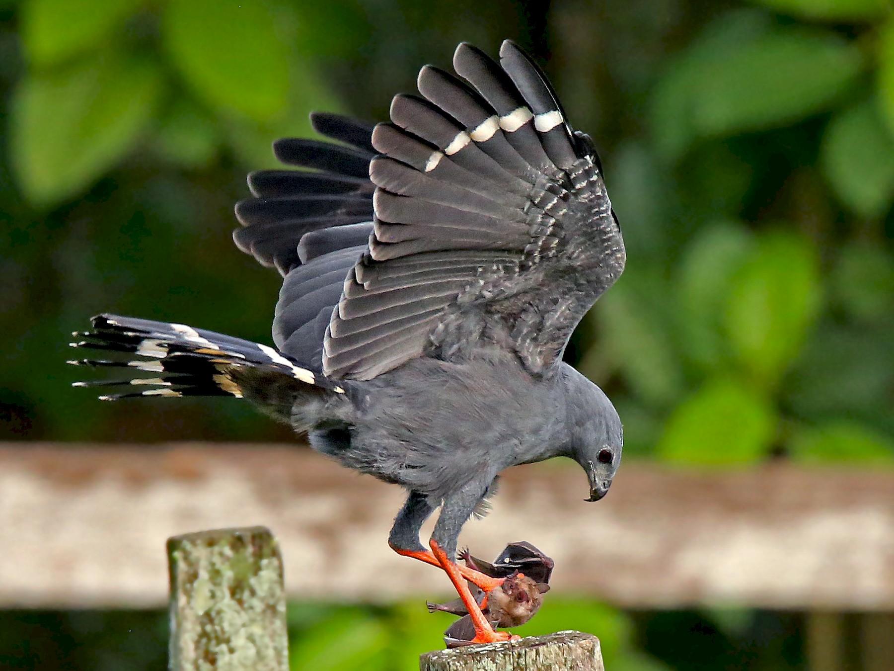 Crane Hawk - Roger Ahlman