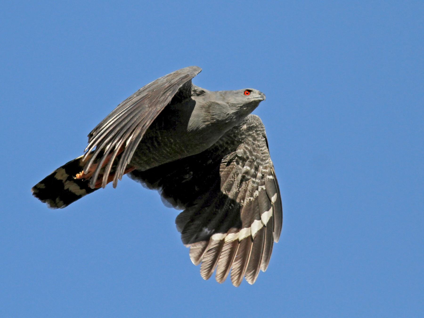 Crane Hawk - Jay McGowan