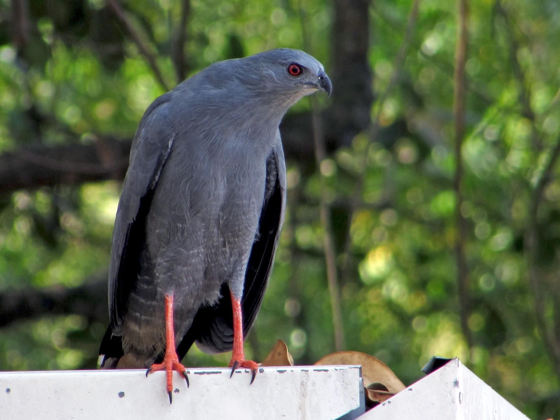 Crane Hawk - Francisco Mariñez