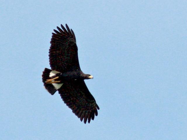 Adult - Great Black Hawk