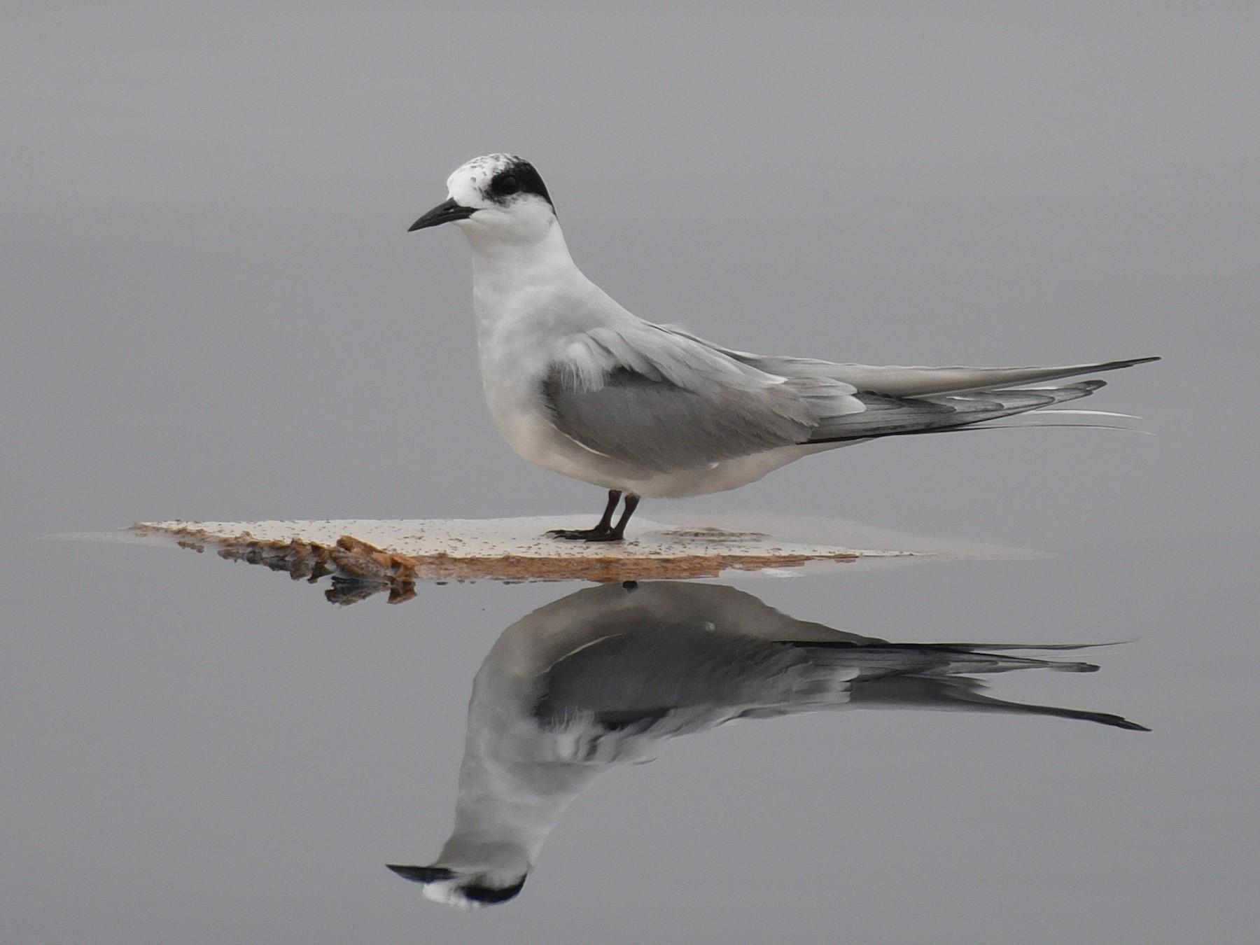 Arctic Tern - Dan Murphy