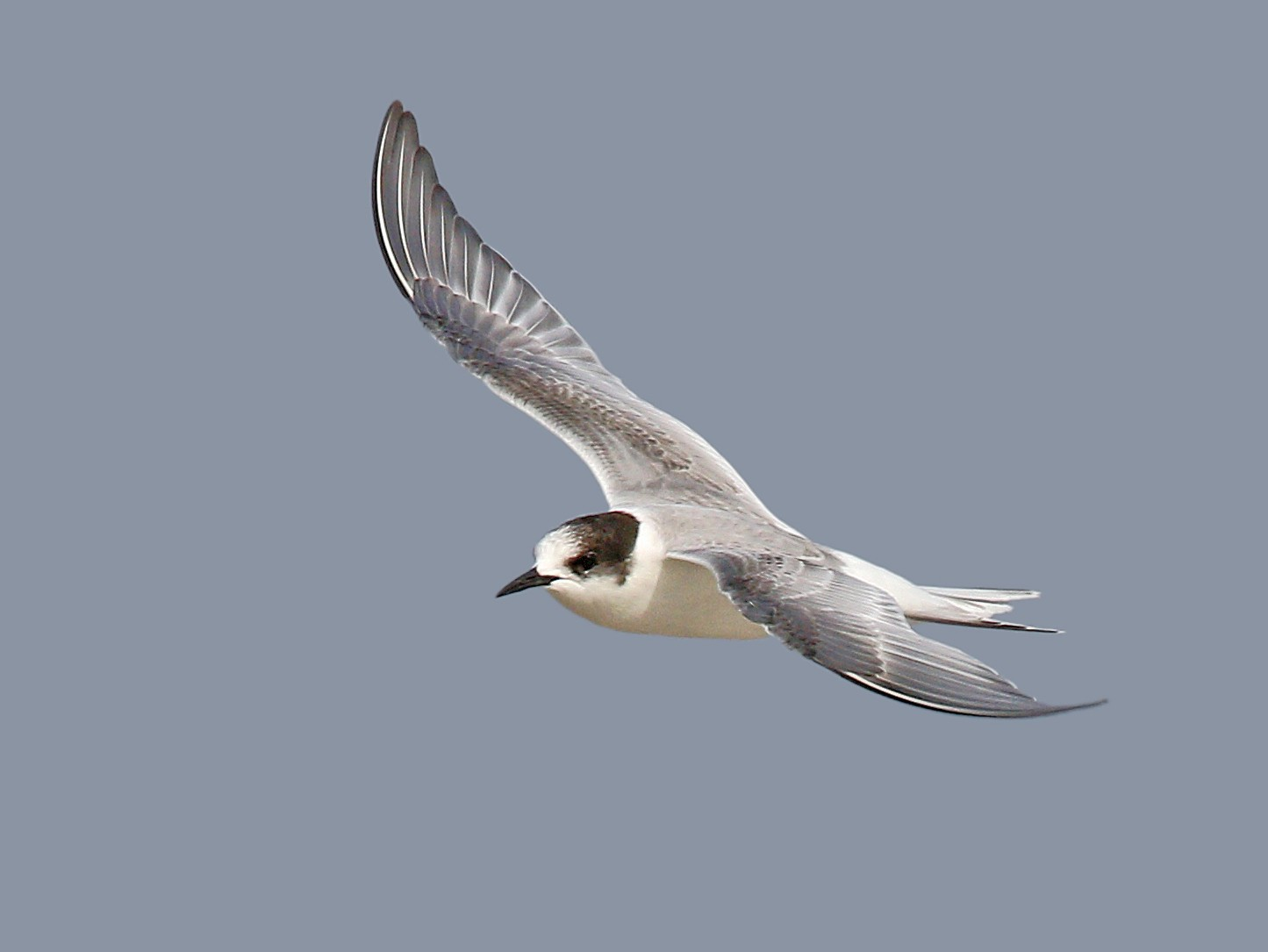 Arctic Tern - Ryan Schain