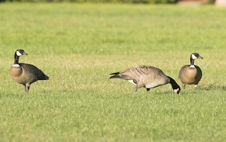 Cackling Goose (Aleutian), ML39622351