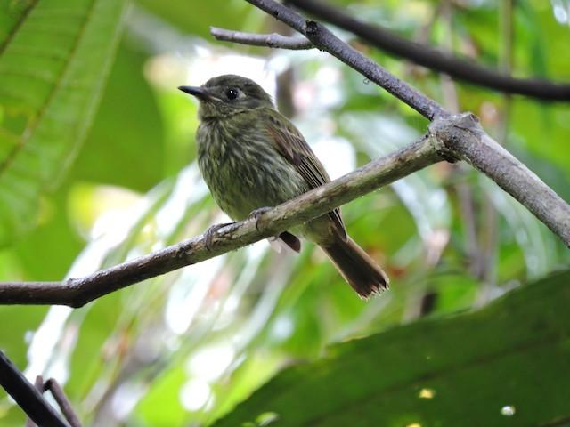 Olive-striped Flycatcher