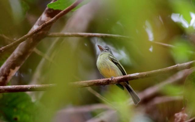 Yellow-olive Flycatcher (Guianan)