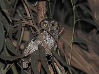 - Koepcke's Screech-Owl