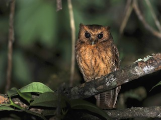 - Cinnamon Screech-Owl