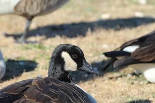 Canada Goose, ML39684201