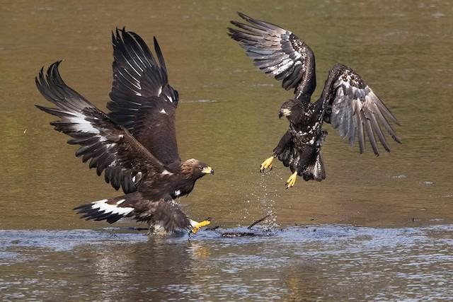 Immature Golden Eagle (left) and immature Bald Eagle (right).