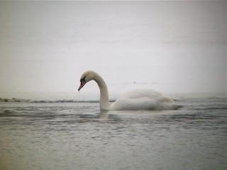 Mute Swan, ML39736661