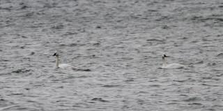 Tundra Swan (Whistling), ML39832821