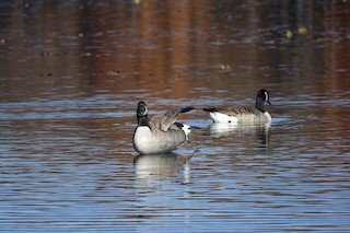 Canada Goose, ML39846221