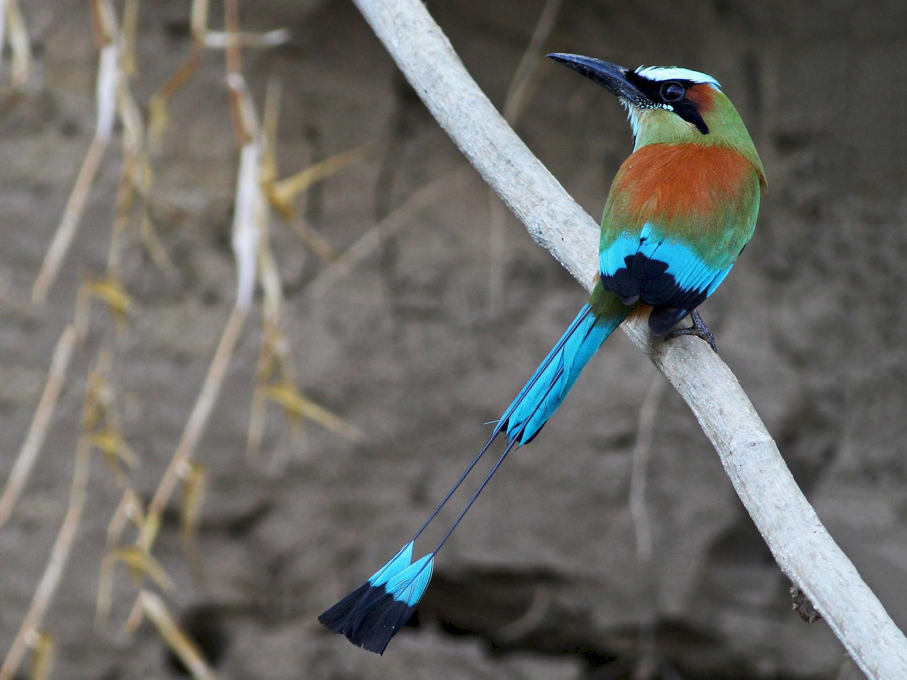 Turquoise-browed Motmot - Andrew Spencer
