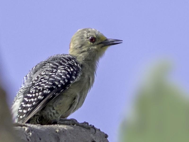 Yucatan Woodpecker - Alvaro Cervera