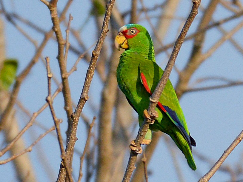 White-fronted Parrot - Dan Murphy