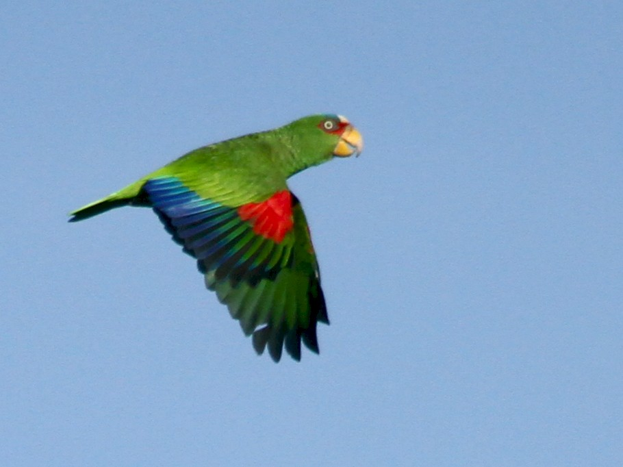 White-fronted Parrot - Carlos Funes