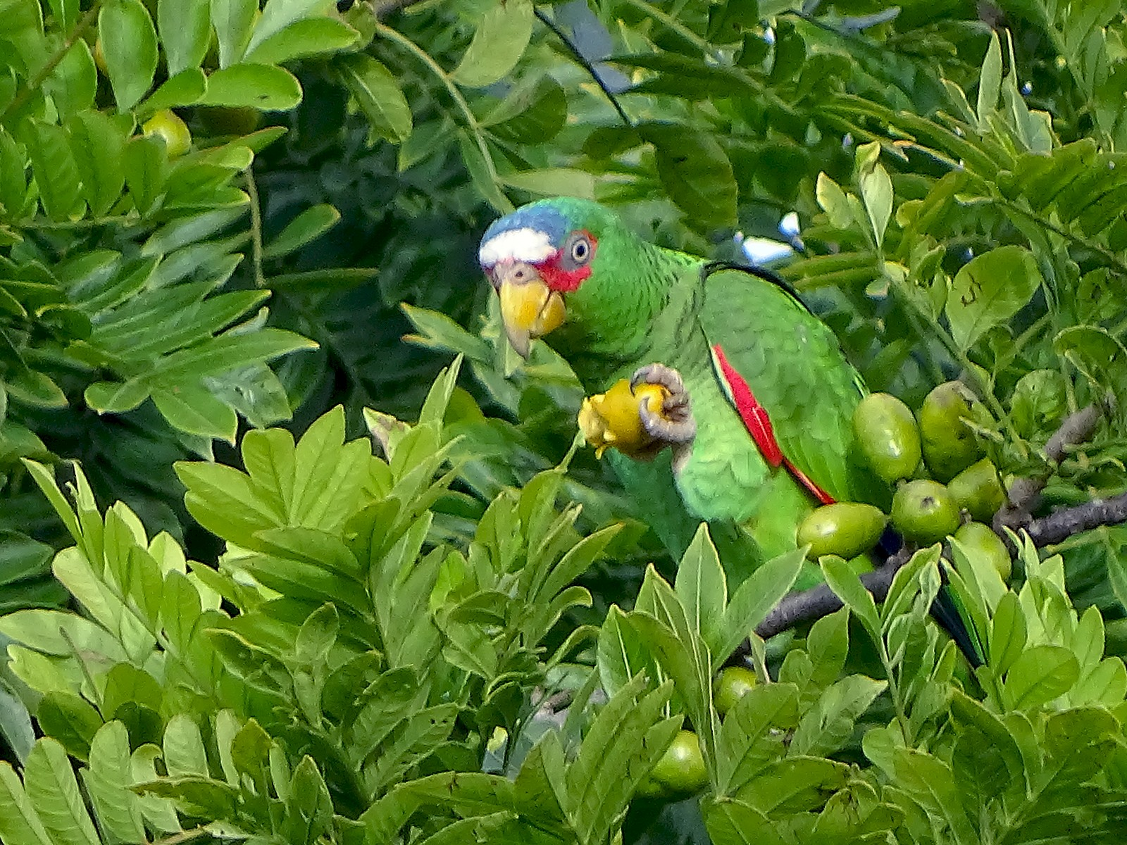 White-fronted Parrot - Alfonso Auerbach