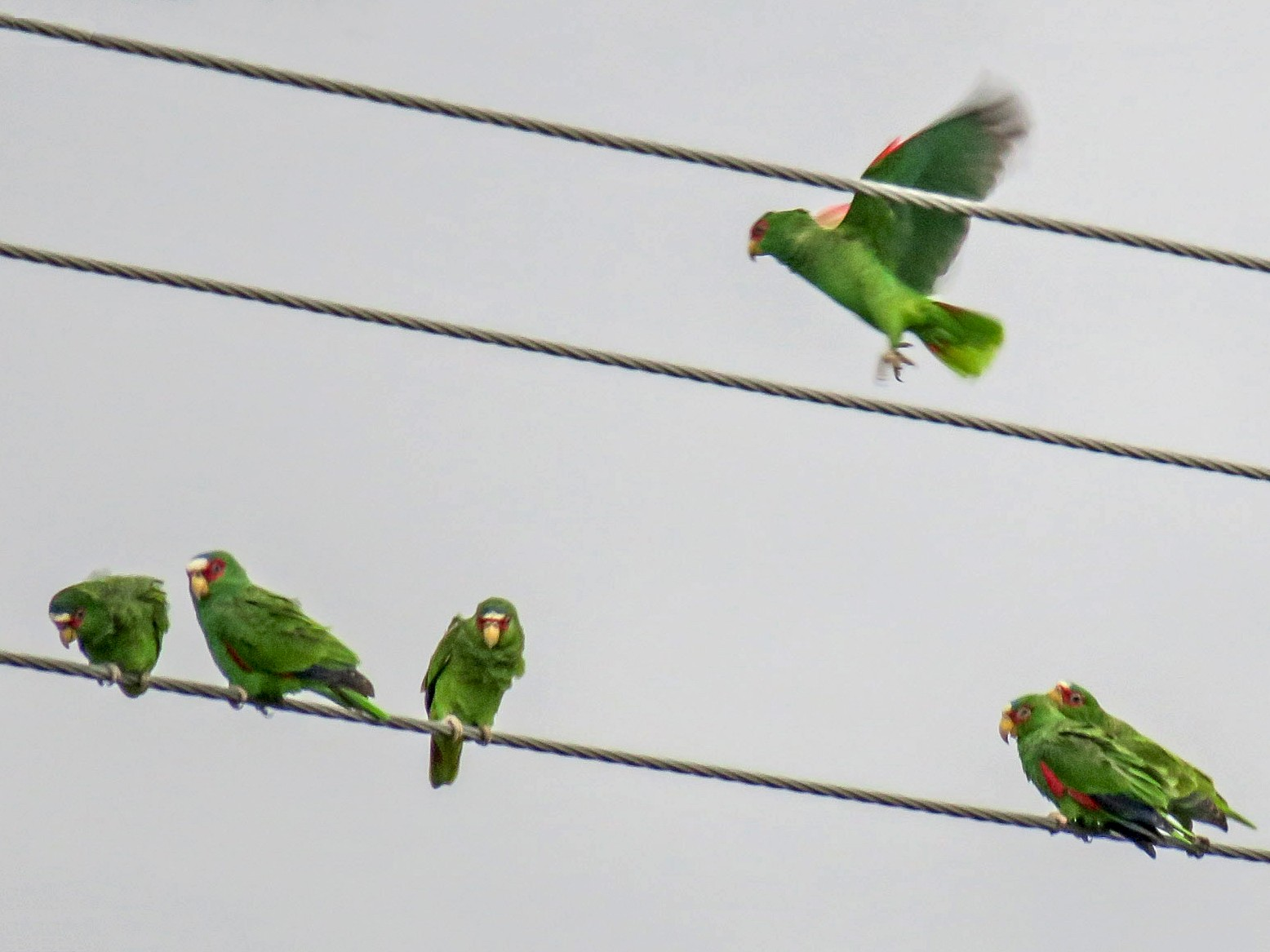 White-fronted Parrot - Brian Pendleton