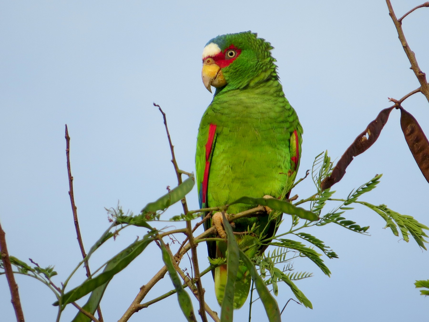 White-fronted Parrot - Mark Goodwin