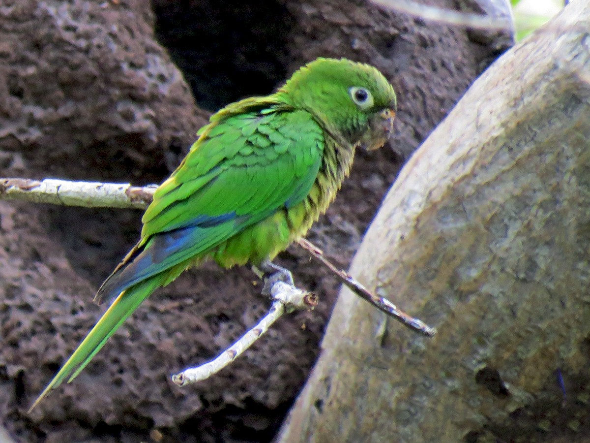 Olive-throated Parakeet - Elena  Conde