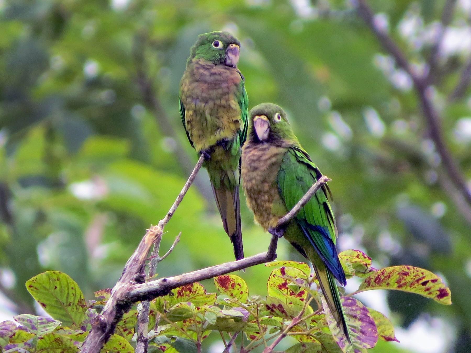 Olive-throated Parakeet - Jessie Stuebner