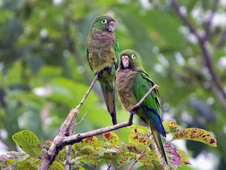 - Olive-throated Parakeet