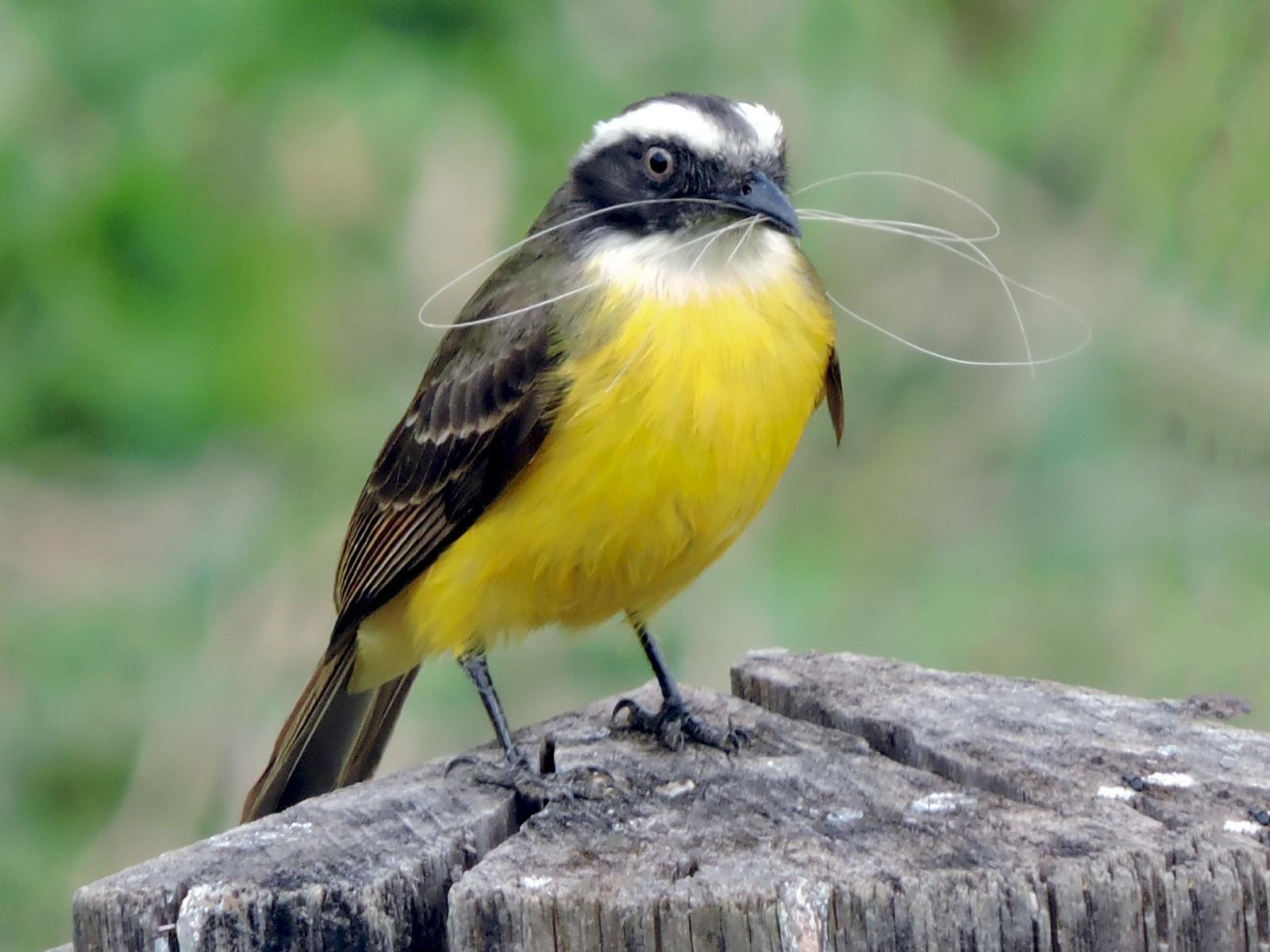 Social Flycatcher - Joseane Guimarães