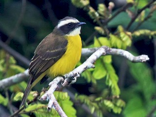 - Social Flycatcher