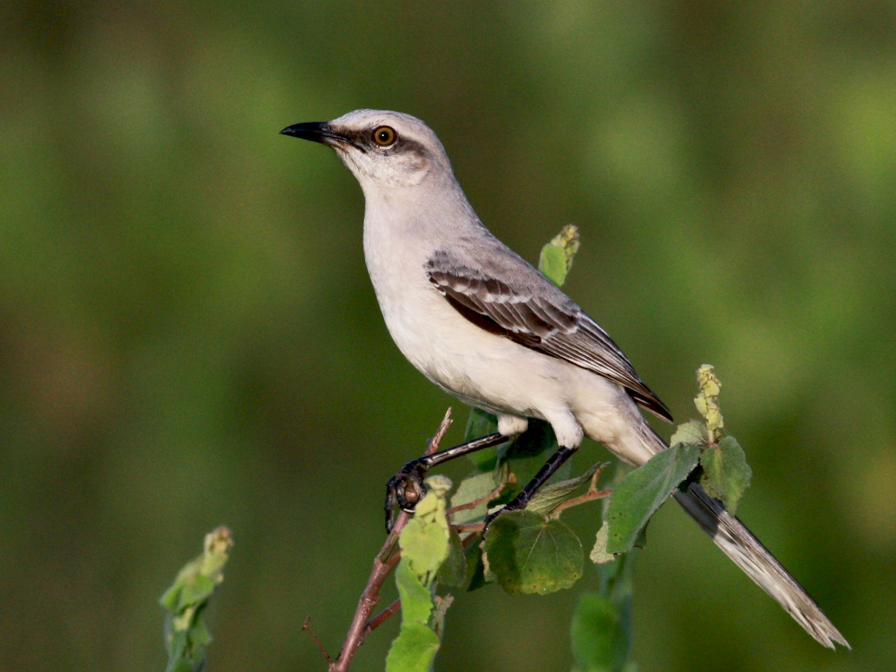 Tropical Mockingbird - Jay McGowan