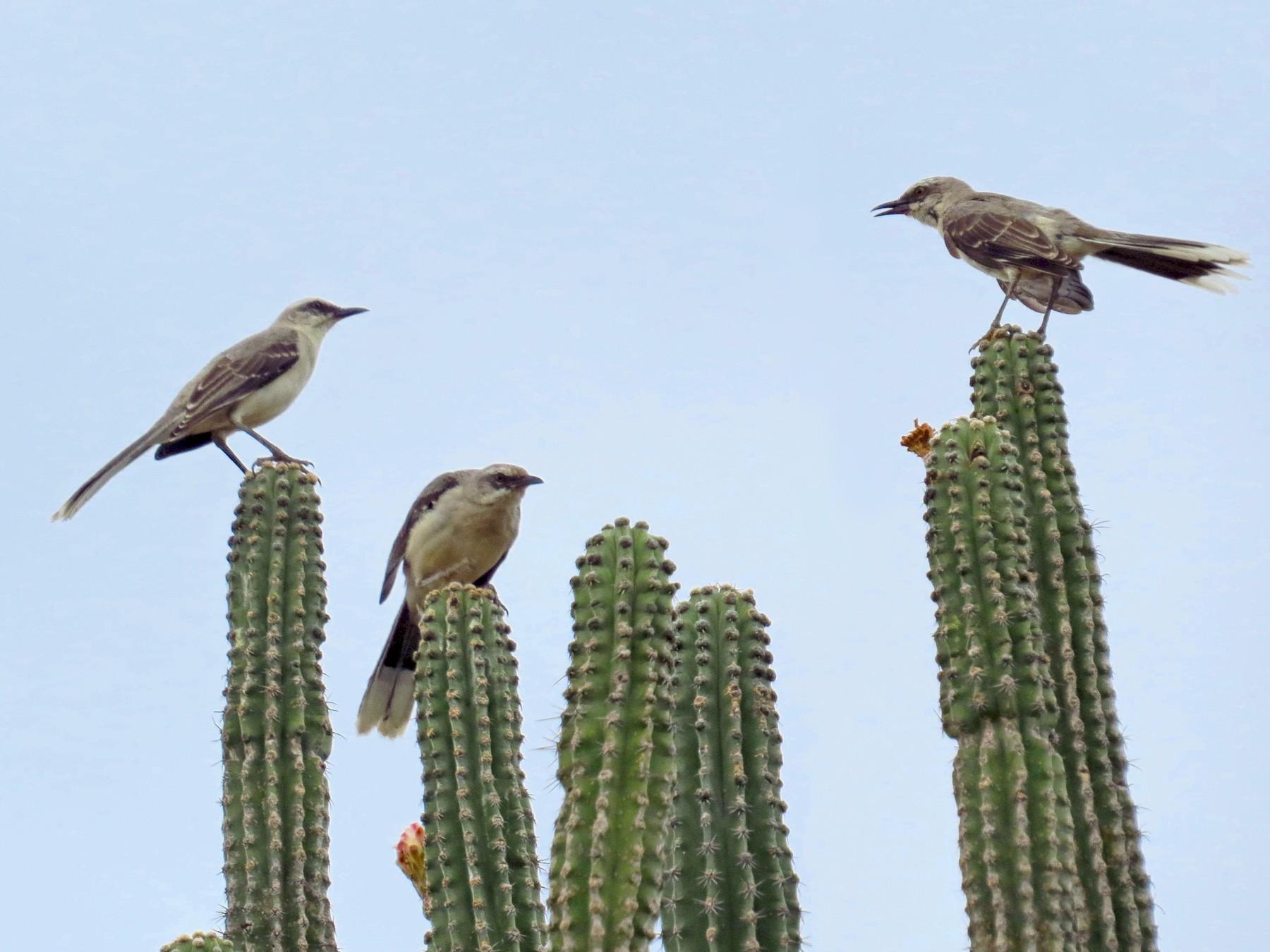 Tropical Mockingbird - Jorge Muñoz García   CAQUETA BIRDING